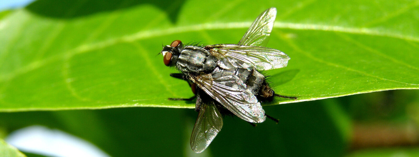 Fly landing on a green leaf