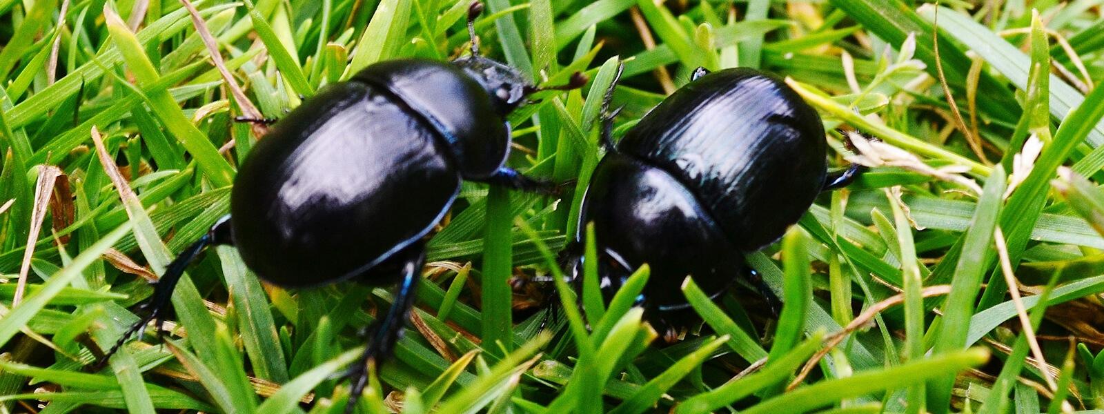 Couple of Beetles walking through grass