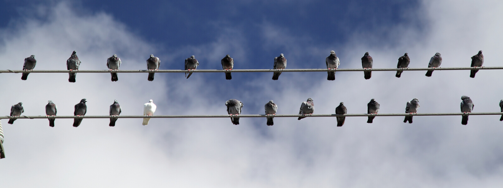 Numerous Pigeons perching on electrical lines and telephone lines