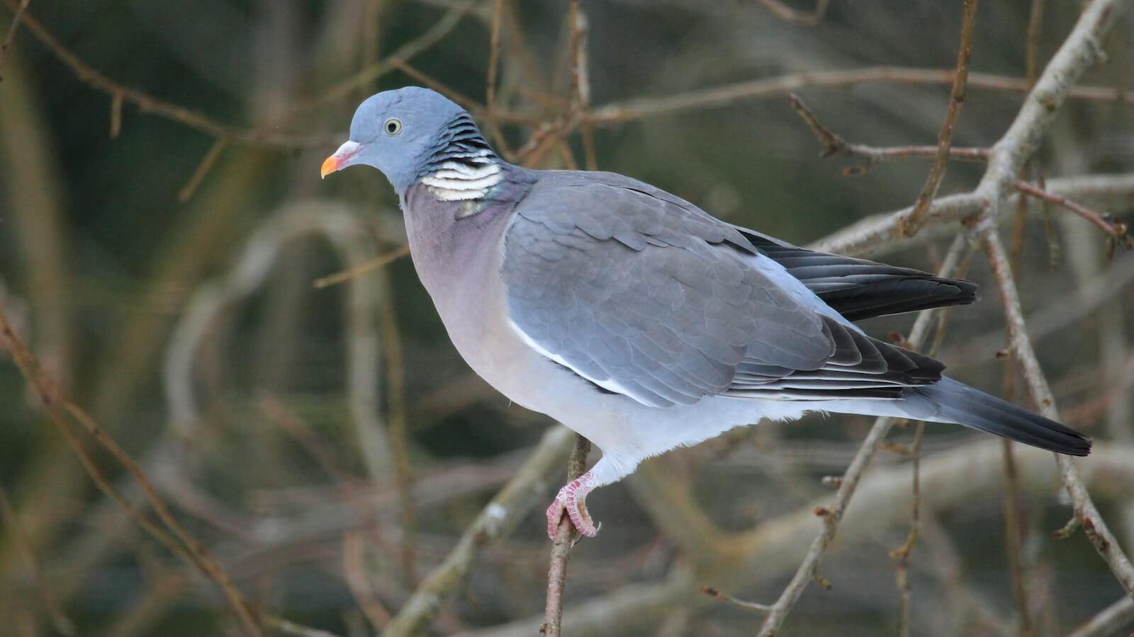 Birds & Pigeon Control