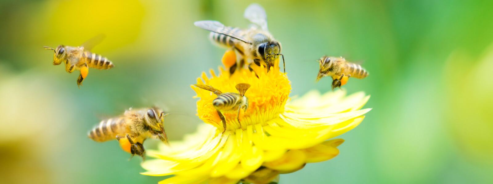 Bees collecting pollen from yellow flower