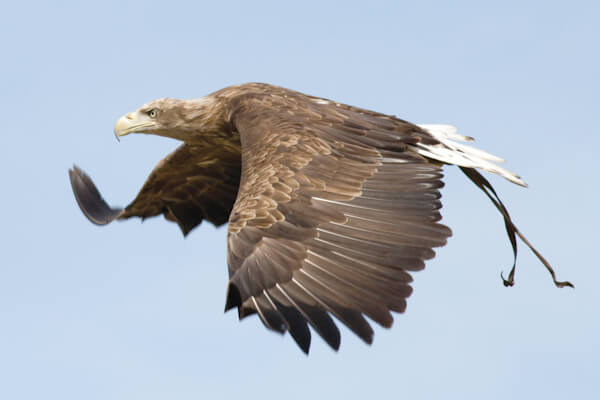 Eagle at Falconry Centre, Thirsk