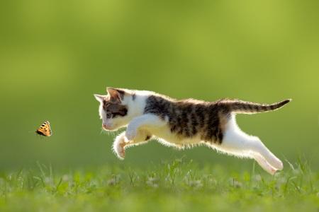 Kitten chasing a butterfly