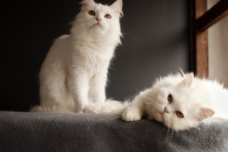 Two white cats sat together