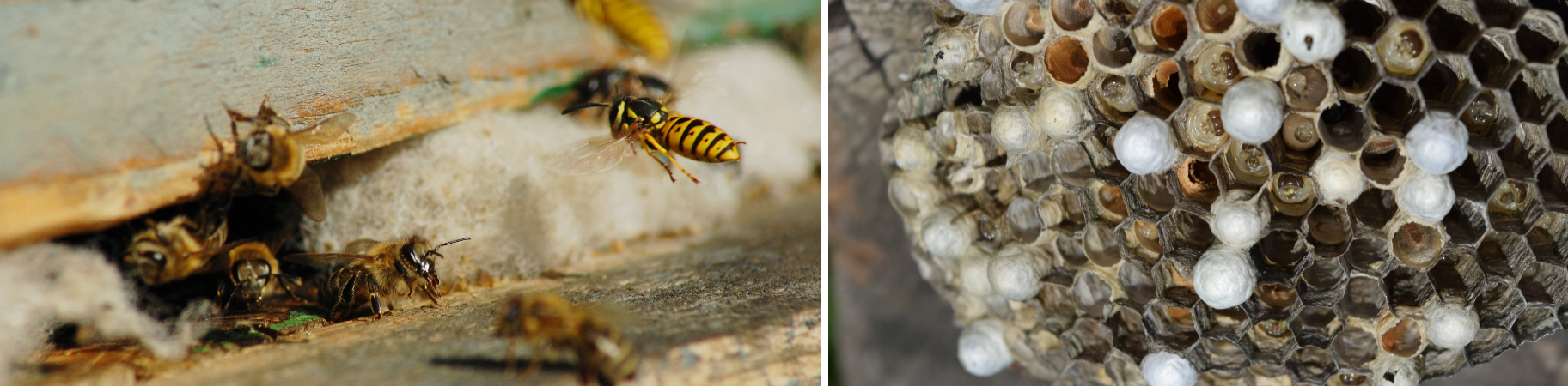 We are wasp nest specialists working throughout Shropshire